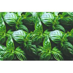 Basilic vert